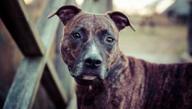 Close-Up Portrait Of American Staffordshire Terrier